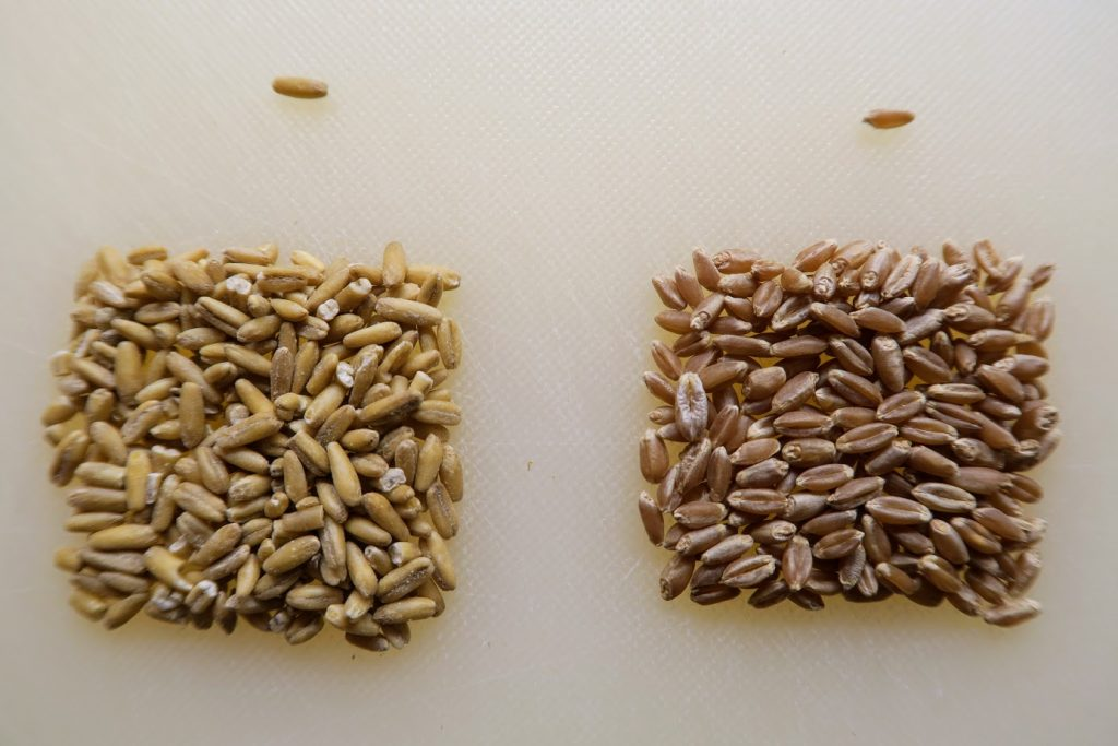 Oat groats compared to wheat kernels - very similar